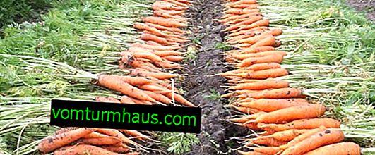 Wann man Karotten aus einem Garten in den Vororten einsammelt