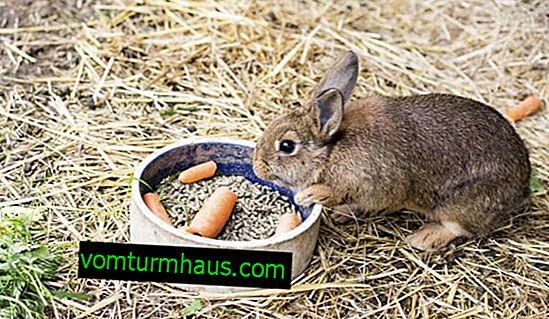 Was und wie man ein dekoratives Kaninchen zu Hause richtig füttert