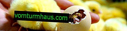 Chov kuřat v inkubátoru doma: klady a zápory, základní pravidla, péče o závěr