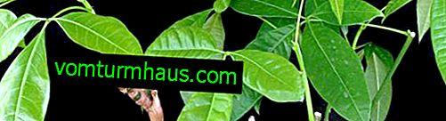 Pakhira aquatica (vodna): opis in razmnoževanje sobne rastline