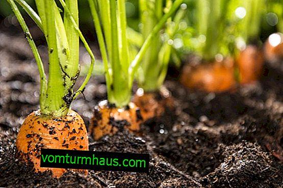 Caractéristiques et règles pour semer des carottes en pleine terre