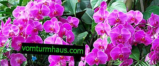 De smukkeste orkideer i verden