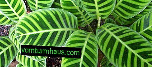 Calathea striped (zebrina): description and cultivation of a plant