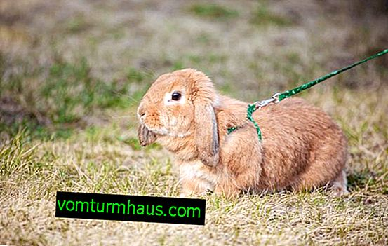 How to do it yourself and how to wear a harness for a rabbit