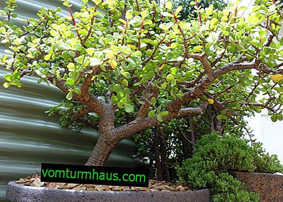 Portulacaria: eine Beschreibung der Pflanze und Pflege zu Hause