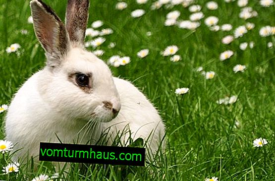 Is it possible to give grass spurge to rabbits: benefits and harms, especially feeding
