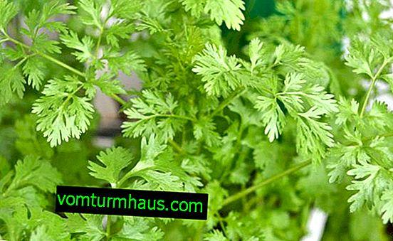 Características del cultivo de cilantro en el alféizar de la ventana en casa