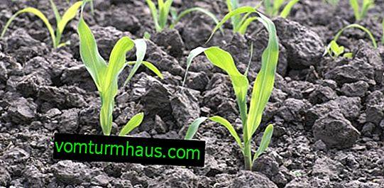 Как да направите сеялка за царевица със собствените си ръце?