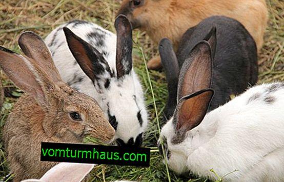 Stomatite nei conigli: cause, sintomi e metodi di trattamento