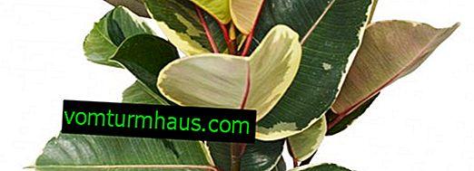Ficus Tineke: описание и отглеждане на растения