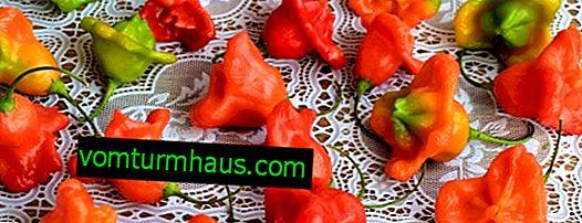 Rød paprika: beskrivelse, plantning og pleje
