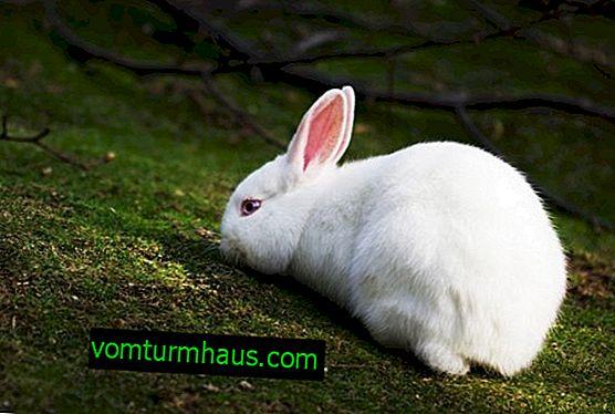 Pourquoi le lapin a-t-il une urine rouge: causes et traitement