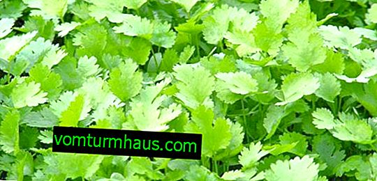 Description of the best varieties of cilantro