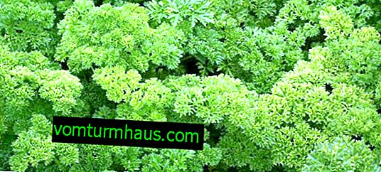 Features of curly parsley: why is it forbidden to eat?