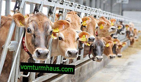 ¿Cómo hacer un comedero de bricolaje para una vaca?
