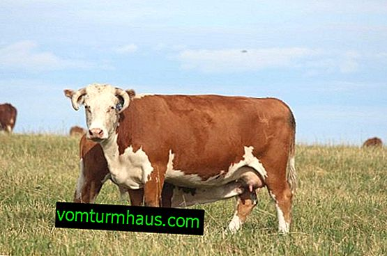 Hereford breed of cattle: description, care and feeding