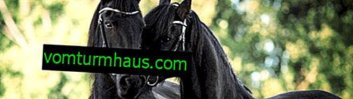 Atrativos dos cavalos: variedades de corrida, sua descrição e características