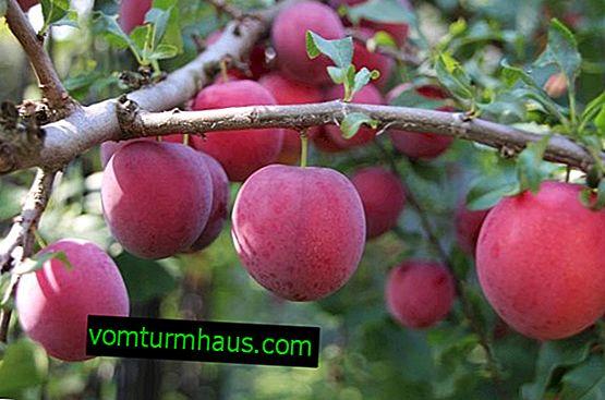 Description détaillée et technologie agricole de la culture de la variété de prune Kuban comet