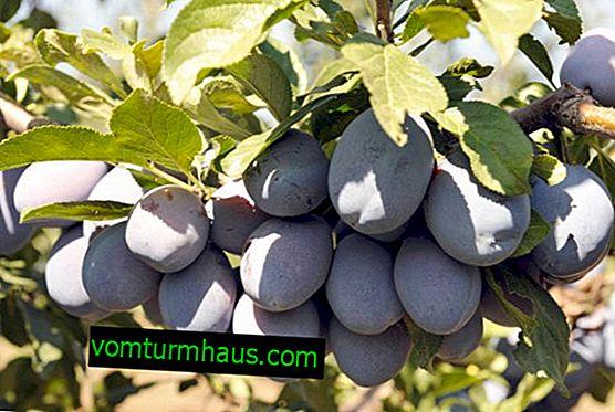 Caractéristiques et règles pour la culture de la prune Stanley