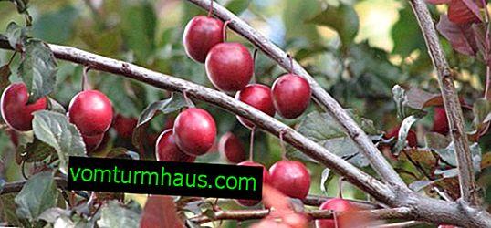 Funktioner för odling och botanisk beskrivning av Cystena plommon