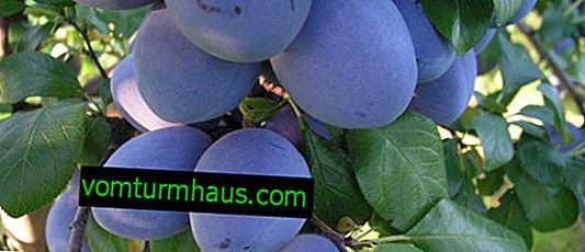 Caractéristiques et caractéristiques de la prune croissante Top Hit