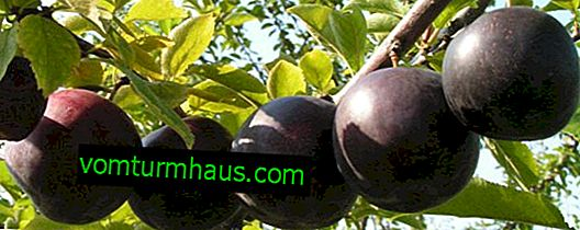 Features of the cultivation of Startovaya plums