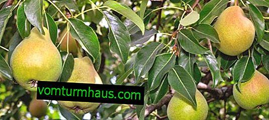 Funktioner ved plantning og pleje af pæresorter Elena