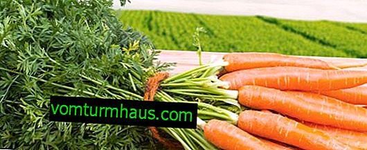 Pourquoi la carotte devient-elle amère?