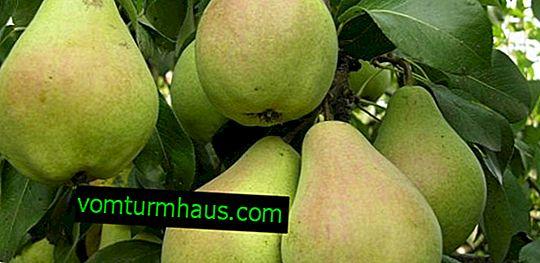 Veles päron - egenskaper och funktioner för odling