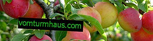 Charakteristika a vlastnosti pestujúceho slivkového kultivaru Svetlyachok