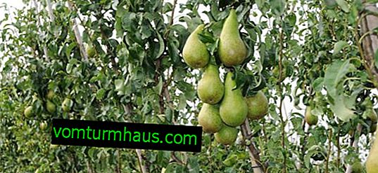 Pear Conference and features of its cultivation