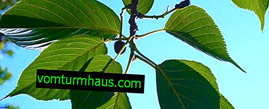 Ползите и вредите, особено използването на черешови листа