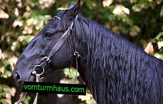 Karachaevskaya raça de cavalos: descrição, prós e contras de manter