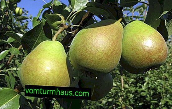Indeholder plantning af pære Marmor og pleje det