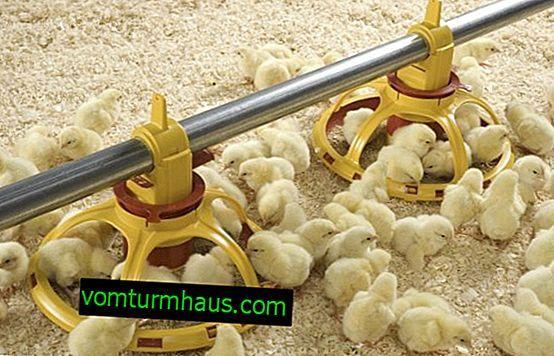 Fodring af kyllinger fra den første dag derhjemme: kost, diæt
