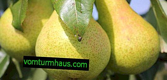 Вирощування і догляд за грушею сорту «Помітна»