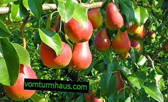 Značajke rastuće sorte krušaka Naryadnaya Efimova