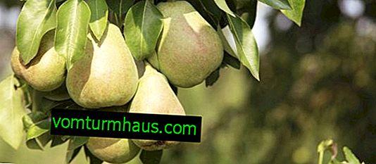 Funkce výsadby a péče o odrůdu hrušek Noyabrskaya zima