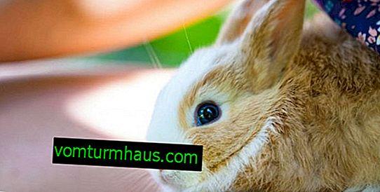 Wie man die Krallen eines Kaninchens zu Hause schneidet