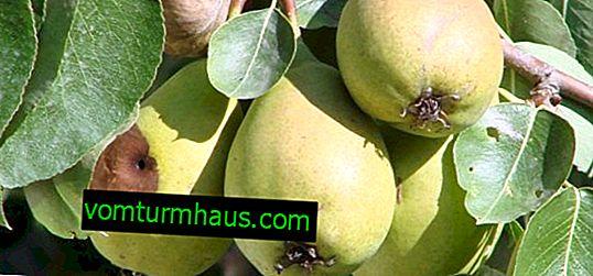 Wie man verrottende Birnen auf einem Baum loswird