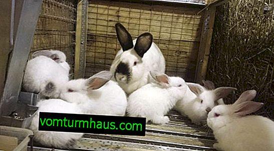 Doença hemorrágica do coelho: sintomas, tratamento e prevenção