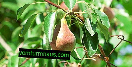 Variedades de pera Russian Beauty - especialmente plantar, cultivar y cuidar