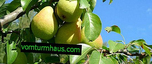 Sorta hruške Pravljica: botanični opis in značilnosti sorte