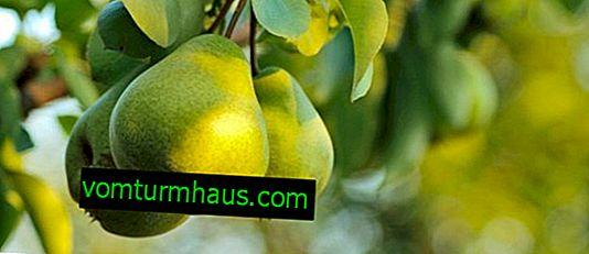 Pera di Zaveya - caratteristiche di semina e cura
