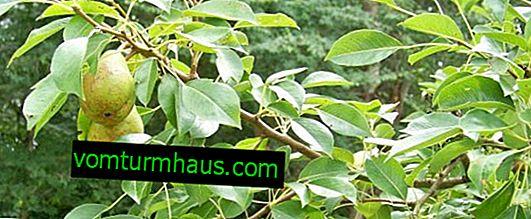 Hur planterar du ett päron korrekt?