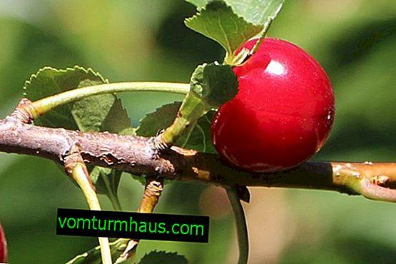 Crescere e prendersi cura delle ciliegie Nadezhda