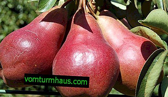 Funktioner av odling och skötsel av päronsorter Starkrimson