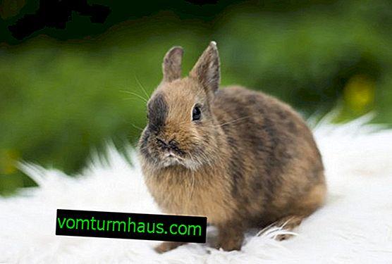 Trpasličí králík: údržba a péče doma