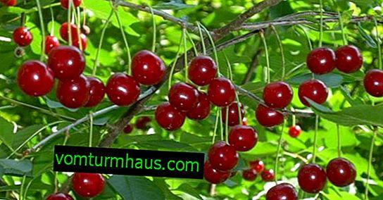 Características del cultivo y cuidado de las cerezas Podbelskaya.
