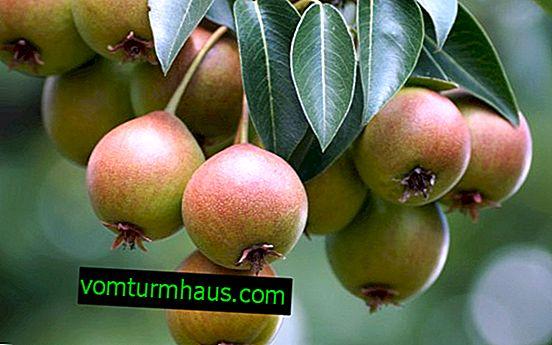Funktioner ved at vokse og pleje en pærevariant Ussuriyskaya